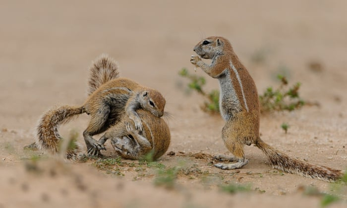 Two squirrels spotted fighting in Kgalagadi Transfrontier Park, South Africa.