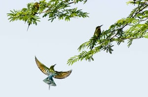 Blue-tailed bee eaters (merops philippinuses) are seen in Qiaojia County of Zhaotong City, southwest China's Yunnan Province. The blue-tailed bee eater, which mainly breeds in southeastern Asia, is featured with its colorful feathers.