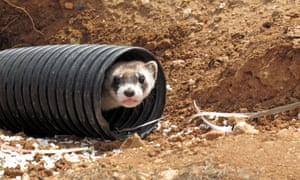 A black-footed ferret peeks out of a tube on Wednesday, Oct. 1, 2014, after its being brought to a ranch near Williams, Ariz. The release of 25 ferrets on the Espee Ranch marks one of the first reintroductions of the endangered species on private land in the country.