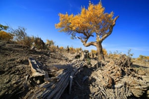 Photo taken on Oct. 1, 2014 shows the scenery of populus euphratica forest in the Naomao Lake of Yiwu County, northwest China's Xinjiang Uygur Autonomous Region.