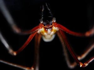 An undated handout picture made available on 30 September 2014 shows a dinner-plate sized Tasmanian cave spider in a cave at an unknown location in Tasmania, Australia. Filmmakers Joe Shemesh and Doug Thost have spent months in dark, wet Tasmanian caves recording the lives of the shy and light-sensitive spider. A short film showing the making of a documentary about a prehistoric spider which lives in Tasmanian caves is to make an international premiere.