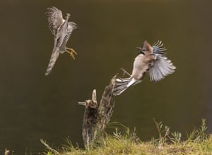 """A sparrowhawk (left) harrasses a Eurasian Jay bird Sparrowhawks harrass Eurasian Jays, Dalen, Norway - Sep 2014 Wildlife photographer Roy Mangersnes captured these stunning images of sparrowhawks harrassing Eurasian jays.  His pictures show the jays frozen in alarm as the small birds of prey buzz them at speed.  Roy explains: """"I visited a good friend of mine in Dalen, Norway who is feeding Eurasian jays. It seems the sparrowhawks have figured this out and every year several of them find their way to the site to practice their hunting skills.  """"At times as many as 8-10 hawks might be harassing the jays, charging at them from all directions at super high speed. It sometimes seem the jays are dodging bullets, and surprisingly enough they seem to be very good at it."""