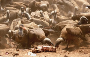 Over a hundred vultures feed on restaurant left-over meat at Victoria Falls Safari Lodge on the verge of the Zambezi National Park on September 29, 2014 in Victoria Falls, Zimbabwe.  Vulture-feeding is an unique tourist experience that has been offered by the lodge since the late 1990s. More than 100 vultures in the Zambezi National Park make their daily visits to the lodge at lunch-time, swooping down on the restaurant left-over meat dumped on an open ground just in front of the lodge's restaurant. The blanket descending of hundreds of vultures and the frenzy scramble for food are an eye-opening experience for tourists.