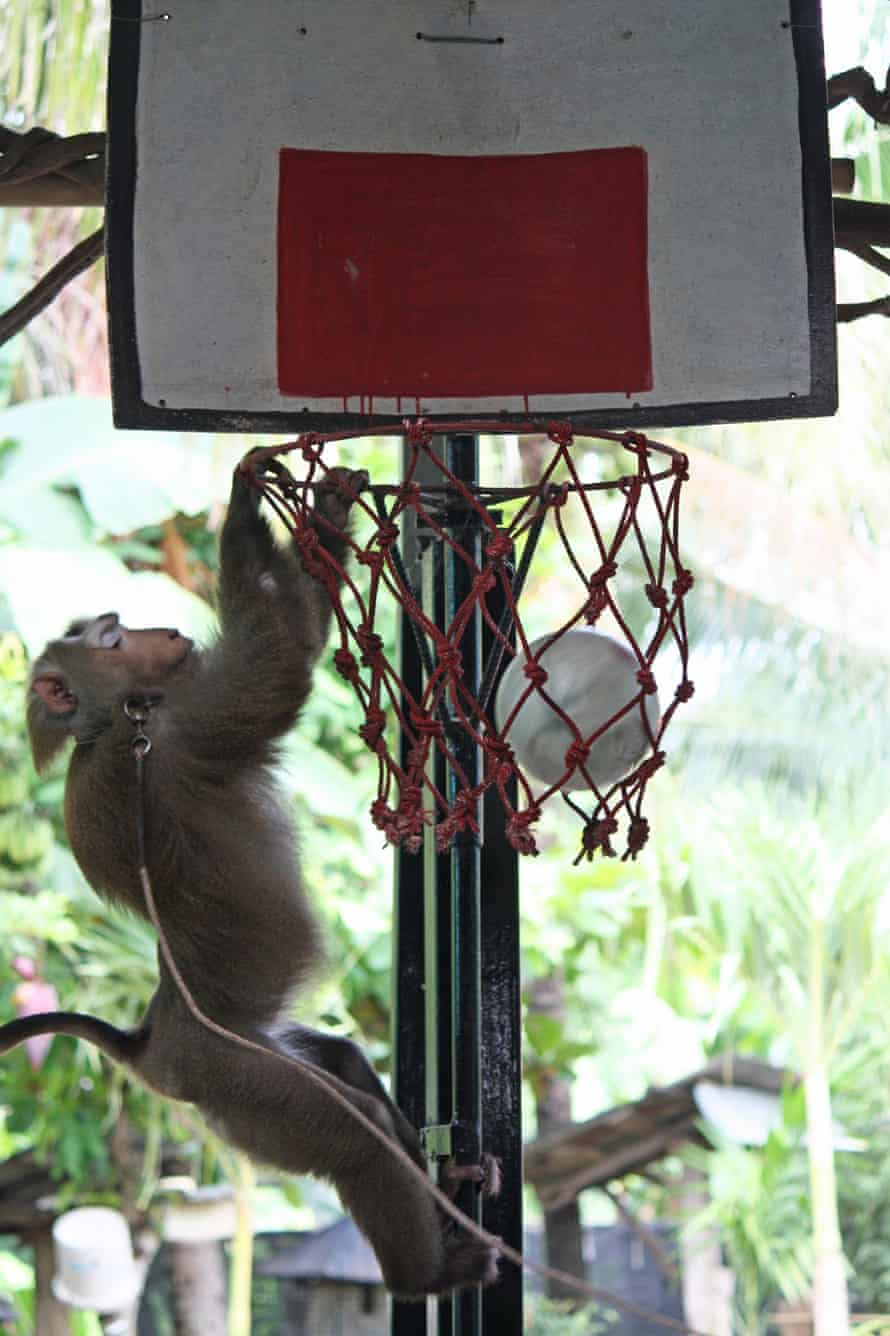 A macaque performs tricks for tourists in Thailand.
