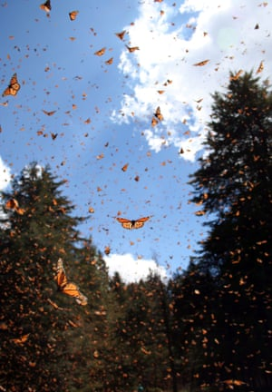 In this undated photo made available by Sonia Altizer via the journal Nature on Tuesday, Sept. 30, 2014, monarch butterflies fill the air at a site in Mexico. The butterflies are famous for migrating from the U.S. and Canada to Mexico for the winter. A study by researcher Marcus Kronforst of the University of Chicago released in the journal Nature on Wednesday, Oct. 1, 2014 suggests the species itself also started out in North America some 2 million years ago, instead of South or Central America.