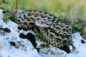 WWF : Meadow / Orsini's viper (Vipera ursinii) adult female in defensive posture. Endangered species. Abruzzo, Italy.11 populations have declined sharply and 8 of these across UK, France and Italy have declined by over 50% between 1990 and 2009 . The exact cause is unknown but it   s likely a combination of factors including habitat degradation and loss of prey