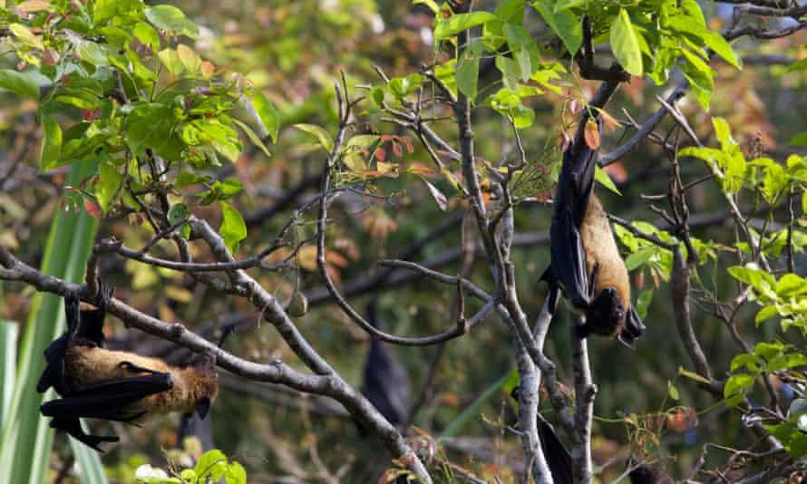 bats ebola africa forests virus