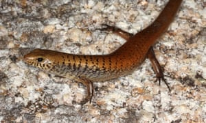 Cape Melville bar-lipped skink