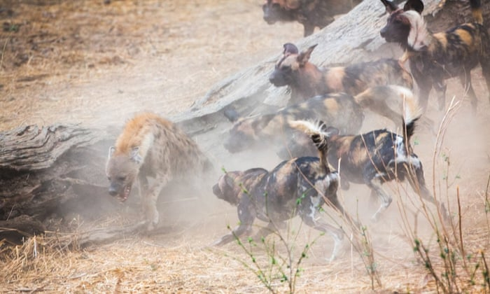 Wild dogs chase a hungry hyena away from their kill at Mana Pools National Park in Zimbabwe.