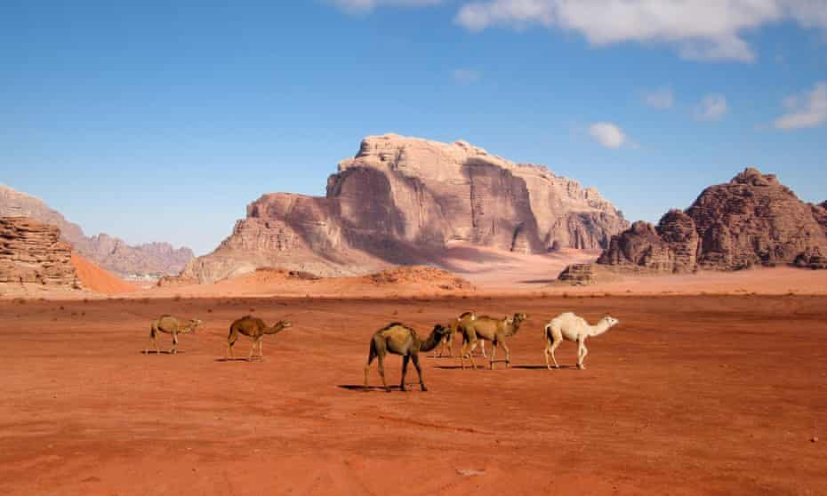 Camels walking through the desert at Wadi Rum, Jordan