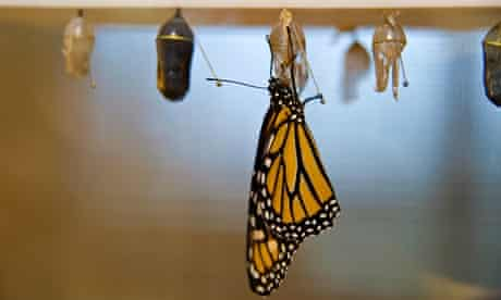 Monarch butterfly  emerges from chrysalis. Image shot 2009. Exact date unknown.