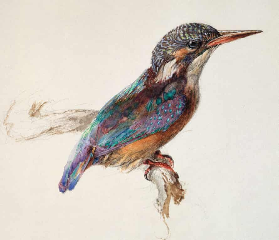 Ruskin's study of a Kingfisher (c1871).