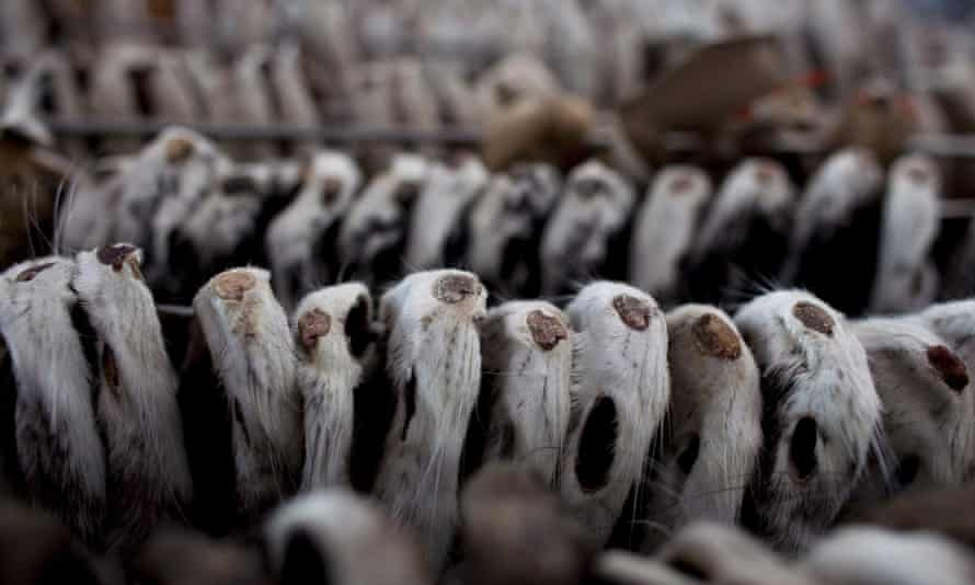 Mink pelts hang to dry at a farm in Harbin, China. It takes 30 of the animals to make a coat.
