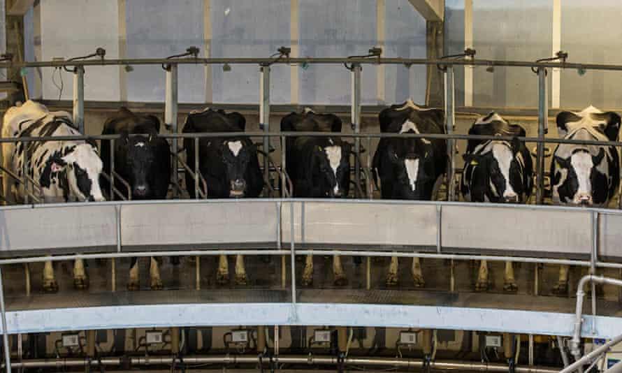 Indoor herd of milk cows