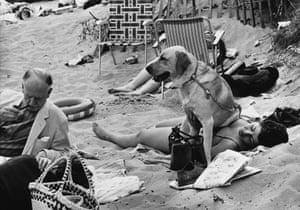 A woman sunbathes on the beach at Abersoch in North Wales while her overly faithful yellow labrador sits on top of her. 1968.