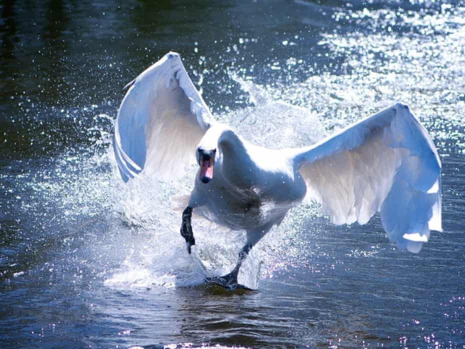 A flying swan