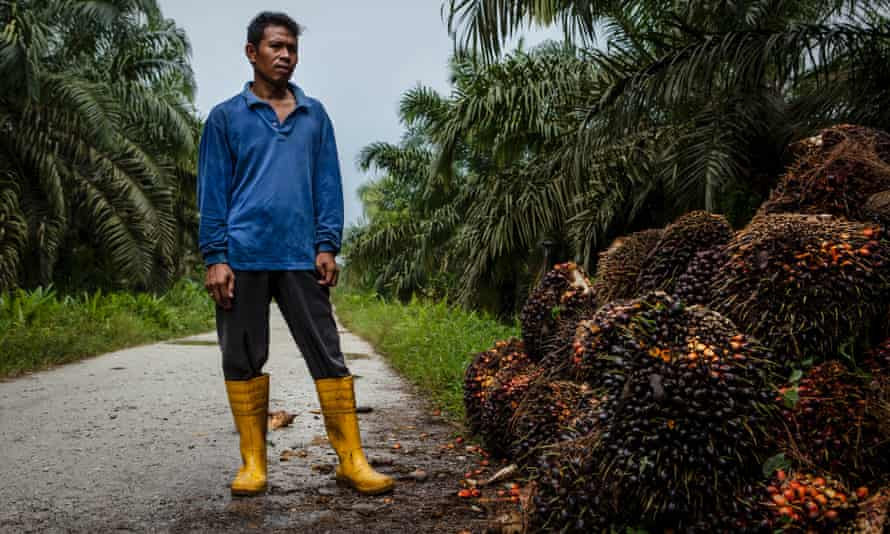 Supriyono palm oil farmer with palm fruits