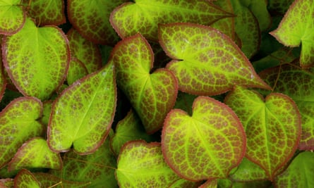 The bright green and red leaves of Epimedium x rubrum