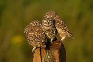 Four little owls perch on fence at the Stow Maries Aerodrome, Essex