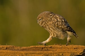 A little owl marches along the fence, in 2014, at the Stow Maries Aerodrome, Essex