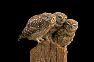 Three little owls perch on fence at the Stow Maries Aerodrome, Essex.