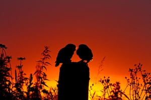 Two little owls are pictured at sunset at the Stow Maries Aerodrome, Essex.