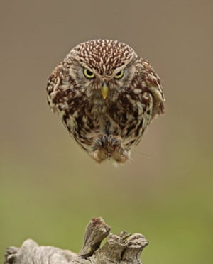 A little owl appears to dive bomb from a tree stump at the Stow Maries Aerodrome, Essex