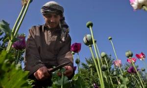 Opium sap being harvested from poppies in Badakhshan, Afghanistan.