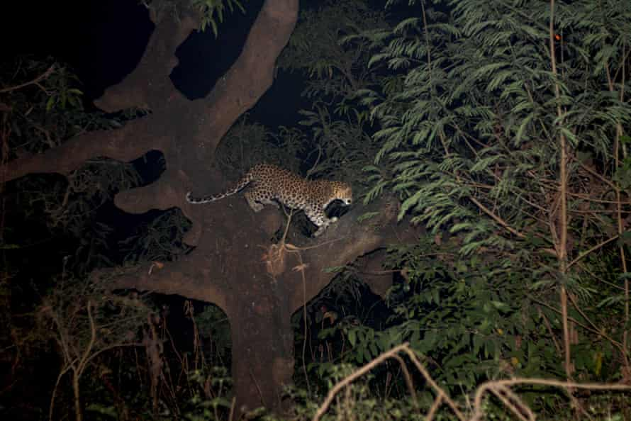 Young female leopard seen around the Royal Palms apartments in Goregaon East, her home range.