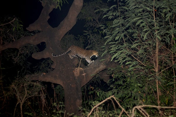 The leopards of Mumbai: life and death among the city's 'living