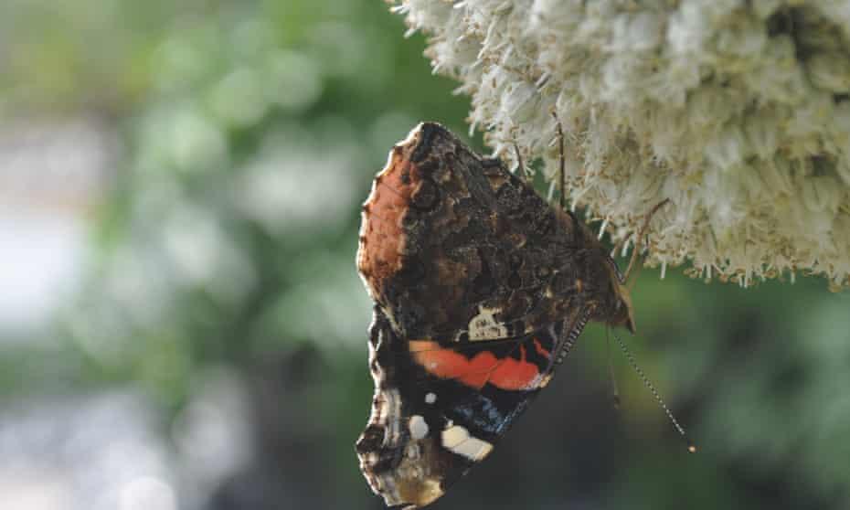 A butterfly on a leek flower