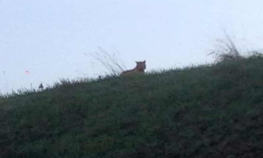 This photo provided by the town council of Montebrain, east of Paris, Thursday shows what is described as a tiger.