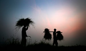 Indian farmers return home carrying bundles of paddy on the outskirts of Gauhati