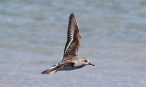 A red-necked stint