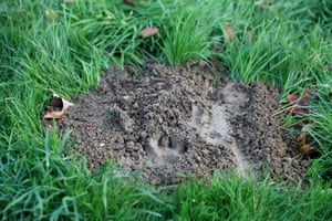 The paw print of what is described as a tiger by a member of the police animal brigade is pictured in Montevrain, east of Paris, Thursday, Nov.13, 2014. French authorities say a young tiger is on the loose near Disneyland Paris, one of Europe's top tourist destinations, and have urged residents in three towns to stay indoors. (AP Photo/Thibault Camus) tp1