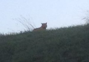 Picture taken by a passer-by showing the tiger Hunt for tiger on the loose, Montevrain, France - 13 Nov 2014