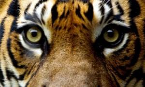 A tiger up close