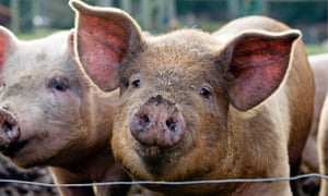 Why do pigs oink in English, boo boo in Japanese, and nöff