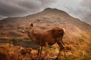In another image by Jeff J Mitchell in Scotland, red deer are pictured at the end of the rutting season at Glen Etive. During the autumn, male deer battle for mating rights, and can be heard from some distance roaring and bellowing to attract females. The rut ends in early November after which males spend the winter feeding to regain strength.