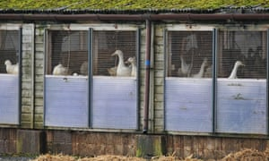 Ducks on a farm in Nafferton, East Yorkshire, where measures to prevent the spread of bird flu are underway