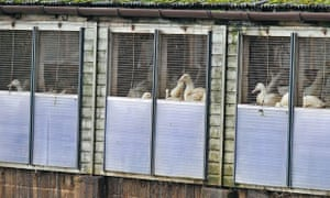 Ducks at a farm in East Yorkshire where bird flu has been detected