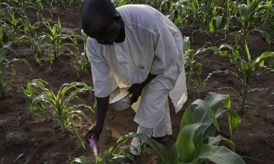 Smallholder farmer Idris Suleiman puts on a second application of urea to his maize crop in Ibbi, Nigeria.