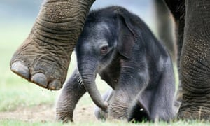 An Asian elephant born at Whipsnade zoo.
