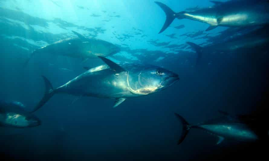 Quotas for bluefin tuna in the East Atlantic were raised after populations showed signs of recovering.