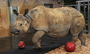 One of the five Indian rhinos at Whipsnade zoo