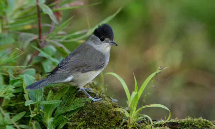 A male blackcap.