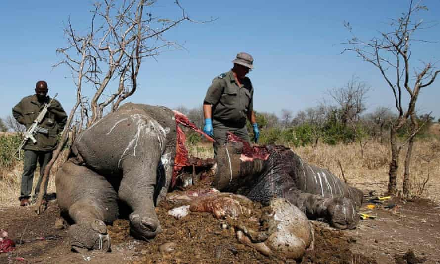A ranger looks on after performing a post mortem on the carcass of a rhino after it was killed for its horn by poachers, at a crime scene in the Kruger national park in August 2014.