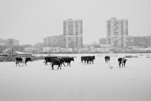 cows strolling in the snow in bulgaria
