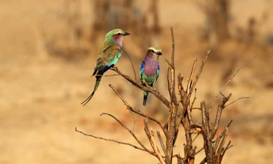 Lilac-breasted rollers, Hwange national park, Zimbabwe