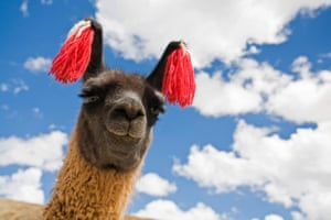 Portrait of a llama (Lama glama), Altiplano, Bolivia, South America